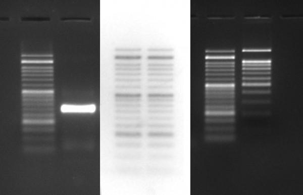 GelRed® in Wasser - DNA Farbstoff