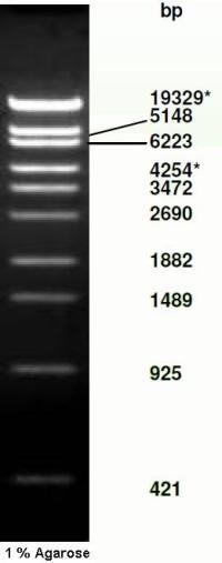 Lambda DNA / Sty I marker
