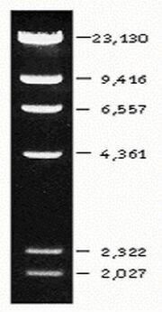 Lambda-DNA - Hind III DNA Marker