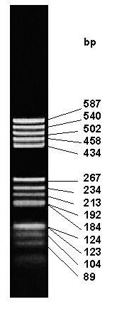 pBR322 - Hae III DNA Marker