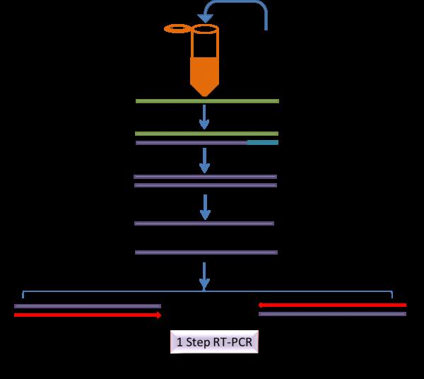 one-step RT-PCR scheme - realtime RT-PCR kit
